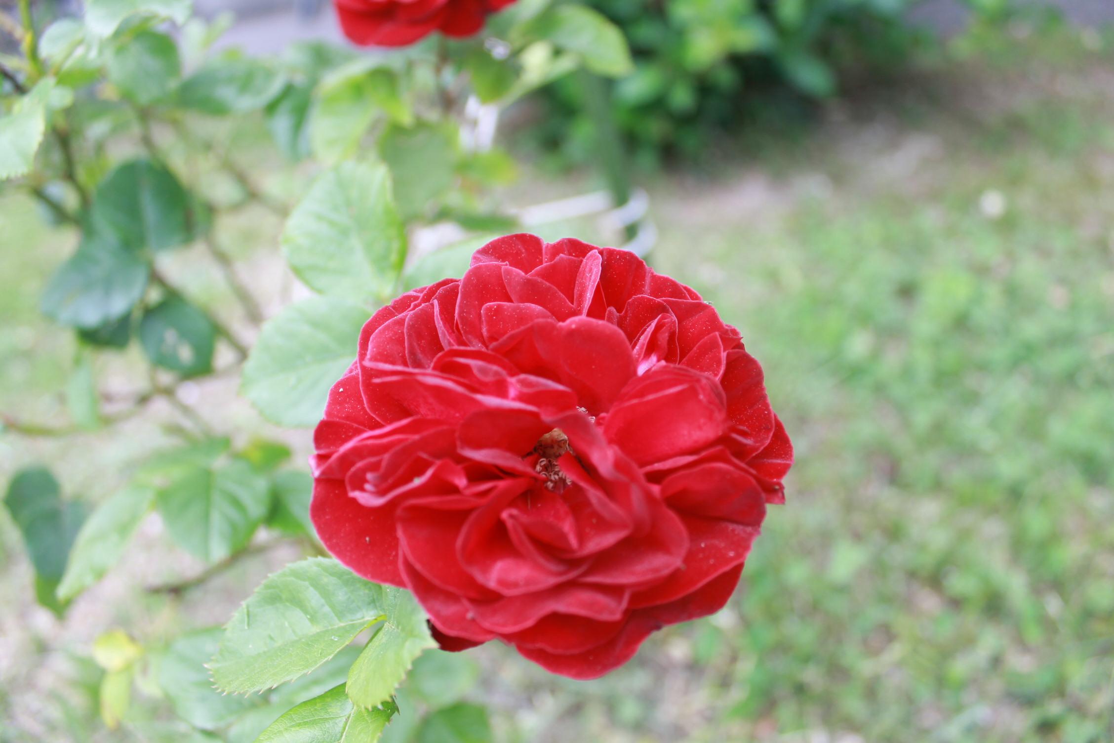 庭のバラ達_e0201009_21582218.jpg