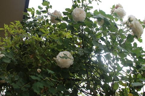 庭のバラ達_e0201009_21592514.jpg