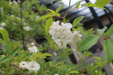 庭のバラ達_e0201009_220993.jpg