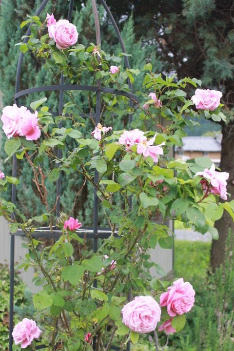 庭のバラ達_e0201009_2244810.jpg
