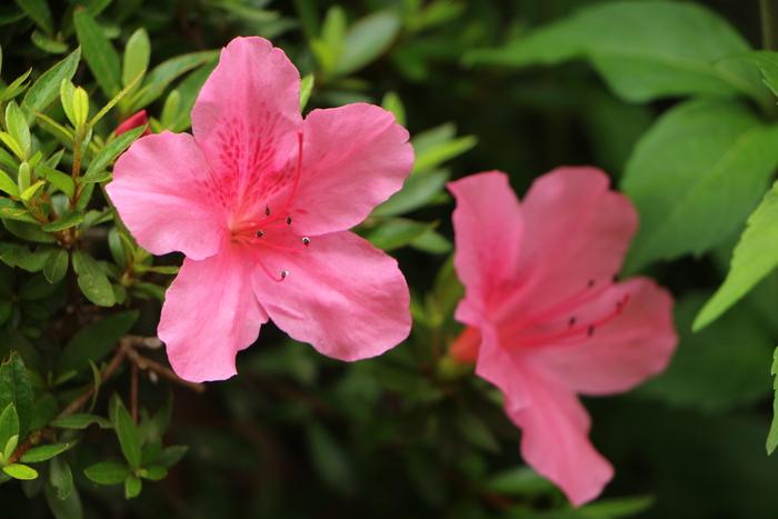 5月 庭の花だより(Ⅳ)_d0150720_12454110.jpg
