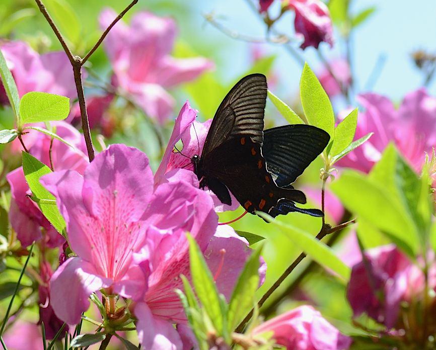 山頂の蝶たち−−クモガタヒョウモンほか(2013年5月26日) _d0303129_002082.jpg