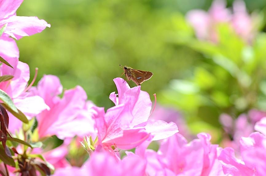 山頂の蝶たち−−クモガタヒョウモンほか(2013年5月26日) _d0303129_002967.jpg