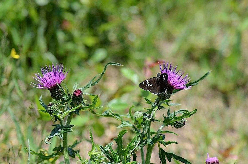 山頂の蝶たち−−クモガタヒョウモンほか(2013年5月26日) _d0303129_004092.jpg