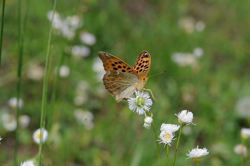 山頂の蝶たち−−クモガタヒョウモンほか(2013年5月26日) _d0303129_2359543.jpg