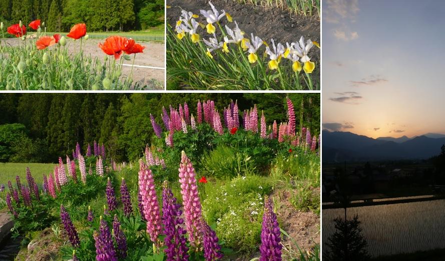 ルピナスの花畑と夕焼け空_a0212730_1962886.jpg
