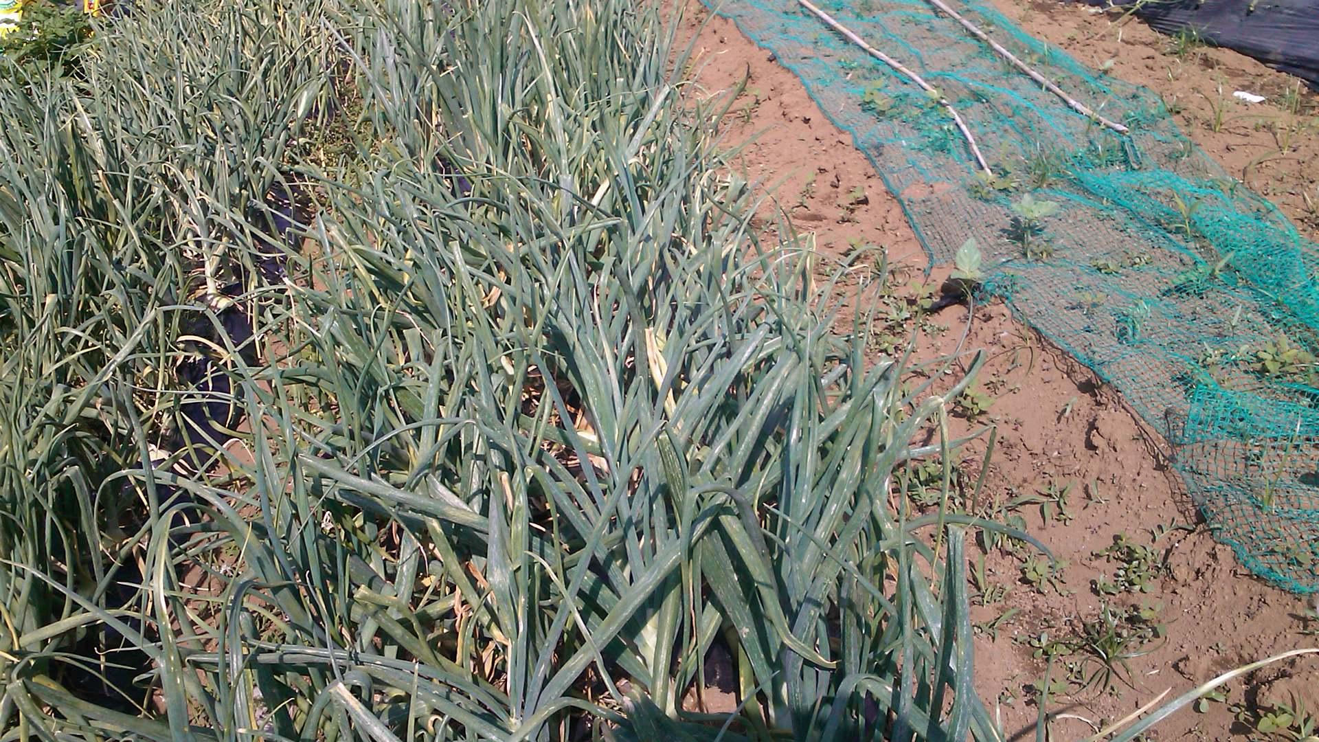 玉ねぎの成長...もうすぐ収穫です。_b0137932_12394491.jpg