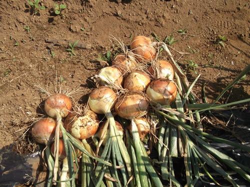 玉ねぎの成長...もうすぐ収穫です。_b0137932_12434126.jpg