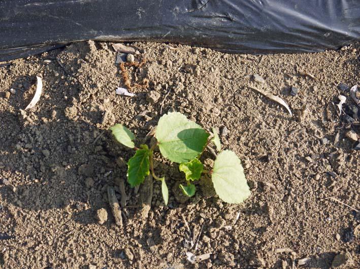 黒マルチ効果で例年より早くメークイーン初収穫:13・5・24_c0014967_5542151.jpg