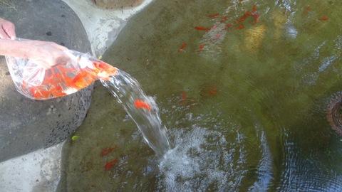 池に金魚を放流しました。_d0182179_17533571.jpg