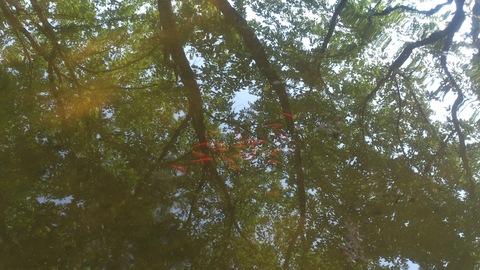 池に金魚を放流しました。_d0182179_1758279.jpg