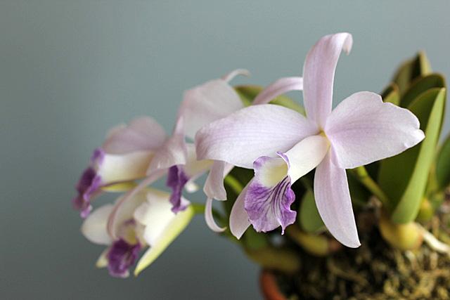 C.sincorana f.coerulea_d0007501_1112292.jpg