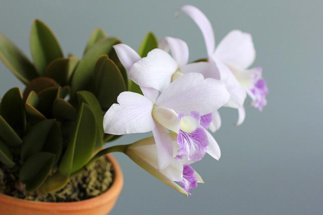 C.sincorana f.coerulea_d0007501_11125874.jpg
