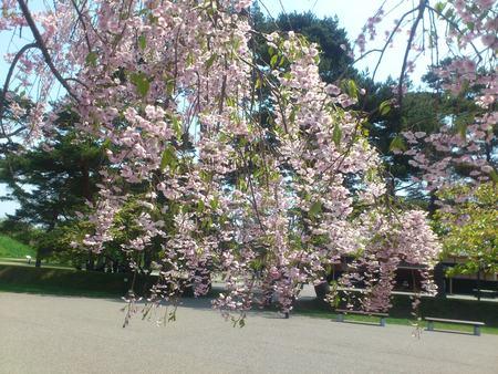 五稜郭公園のしだれ桜_b0106766_2149347.jpg