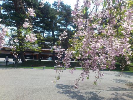 五稜郭公園のしだれ桜_b0106766_2149359.jpg