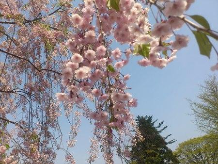 五稜郭公園のしだれ桜_b0106766_2149443.jpg