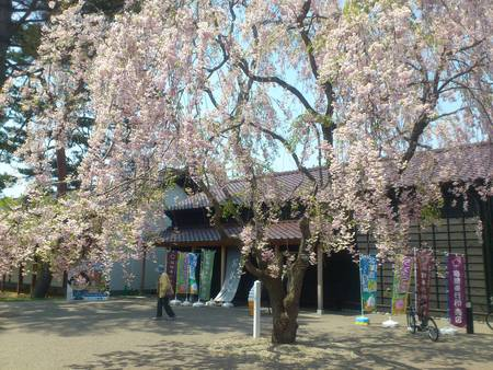 五稜郭公園のしだれ桜_b0106766_2149511.jpg
