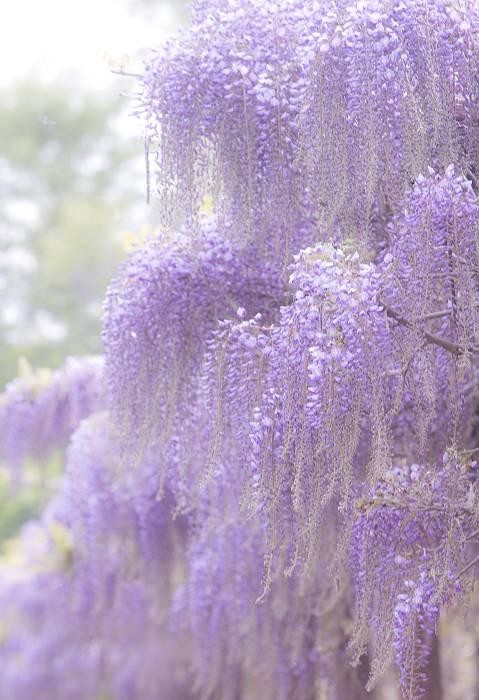 藤の花、最終回_c0077395_7321464.jpg