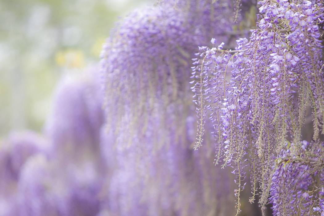 藤の花、最終回_c0077395_7324034.jpg