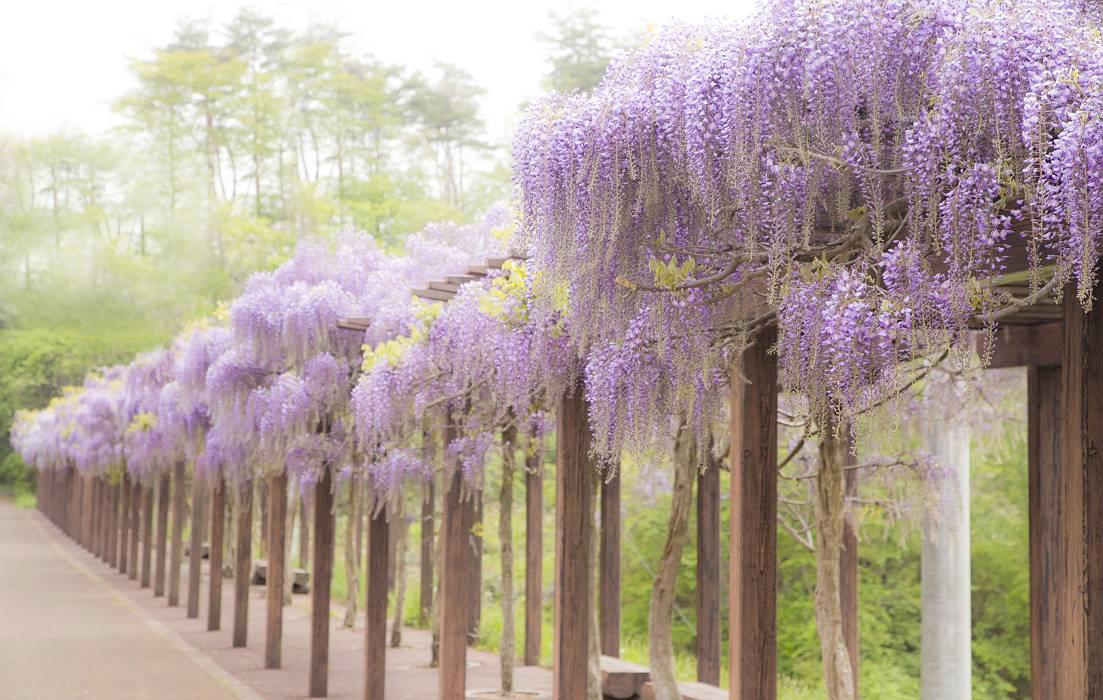 藤の花、最終回_c0077395_7411187.jpg