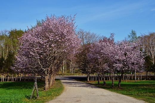 2013年5月28日(火):市街地の桜はほぼ満開[中標津町郷土館]_e0062415_17272231.jpg