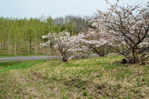 2013年5月28日(火):市街地の桜はほぼ満開[中標津町郷土館]_e0062415_1727597.jpg
