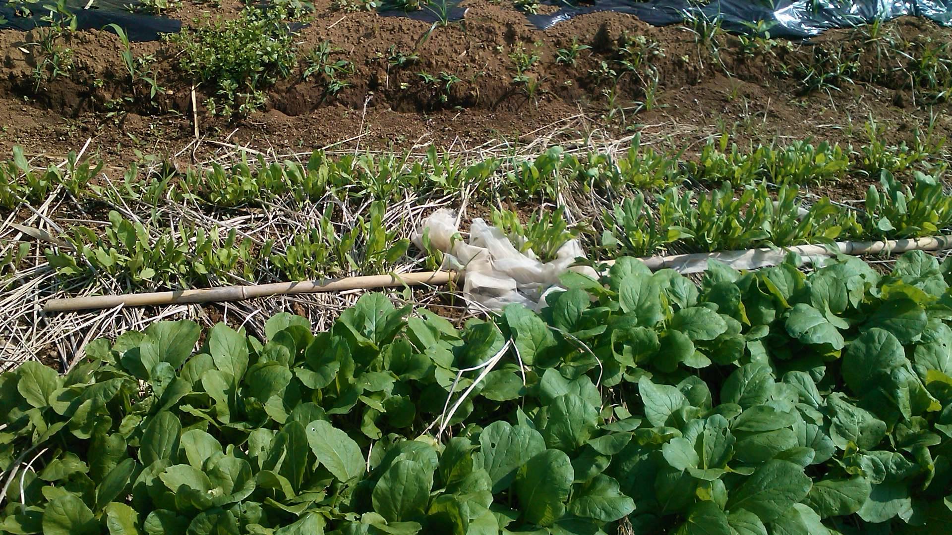 玉ねぎの成長...もうすぐ収穫です。_b0137932_1904411.jpg