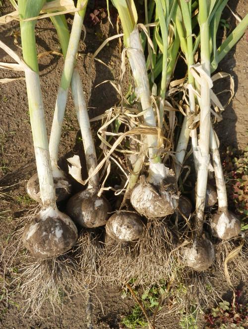 蕪とにんにくを収穫しました_c0053863_23165396.jpg