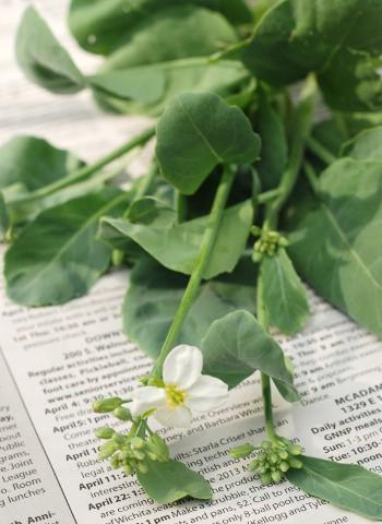 菜園の野菜で、野菜炒め_b0253205_1513675.jpg