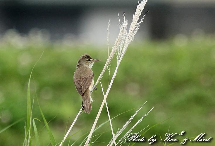 この子の季節ですね ^^ 賑やかな 「オオヨシキリ」 さん♪_e0218518_1958658.jpg