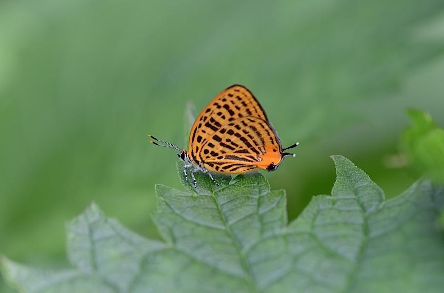 丘陵&野山の蝶たち−−ゼフィルス&セセリチョウ(2013年5月29日) _d0303129_5573295.jpg