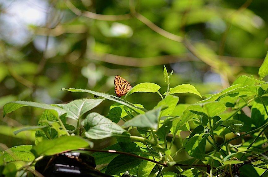 丘陵&野山の蝶たち−−ゼフィルス&セセリチョウ(2013年5月29日) _d0303129_5574468.jpg