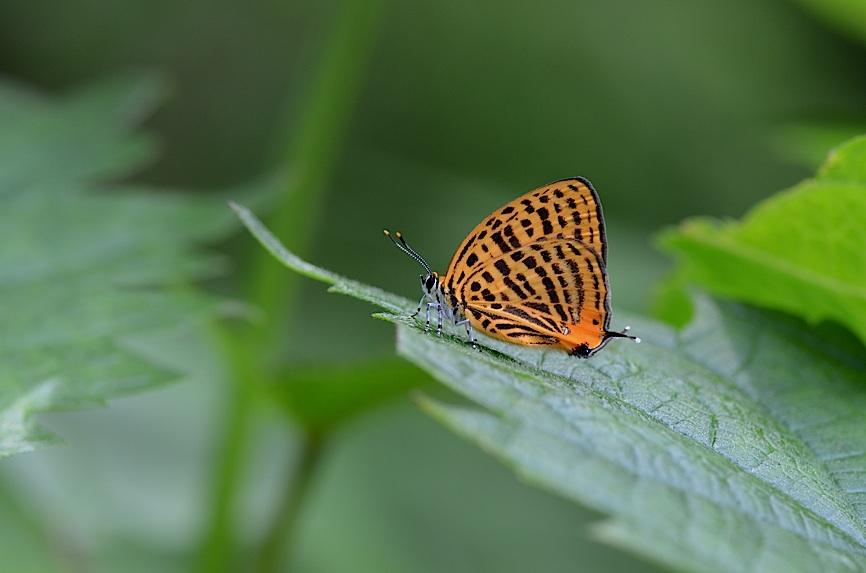 丘陵&野山の蝶たち−−ゼフィルス&セセリチョウ(2013年5月29日) _d0303129_557593.jpg