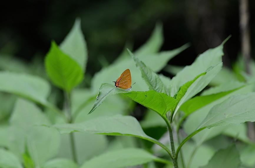 丘陵&野山の蝶たち−−ゼフィルス&セセリチョウ(2013年5月29日) _d0303129_5582188.jpg