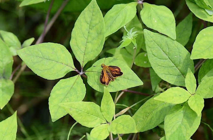 丘陵&野山の蝶たち−−ゼフィルス&セセリチョウ(2013年5月29日) _d0303129_5582738.jpg