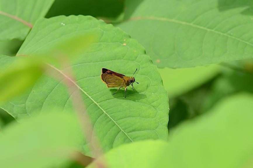 丘陵&野山の蝶たち−−ゼフィルス&セセリチョウ(2013年5月29日) _d0303129_5585356.jpg