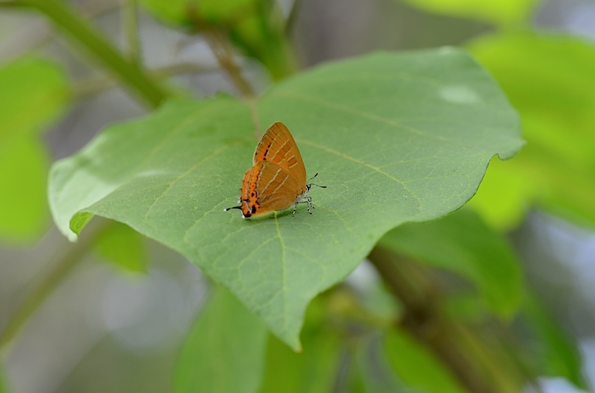 丘陵&野山の蝶たち−−ゼフィルス&セセリチョウ(2013年5月29日) _d0303129_55891.jpg