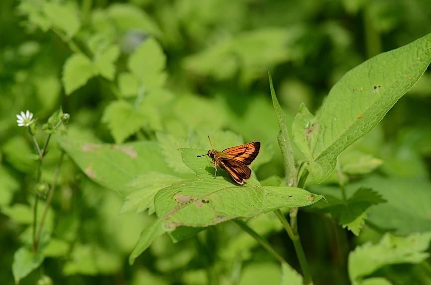 丘陵&野山の蝶たち−−ゼフィルス&セセリチョウ(2013年5月29日) _d0303129_5591961.jpg