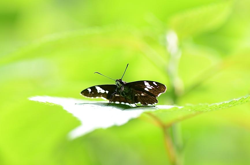 丘陵&野山の蝶たち−−ゼフィルス&セセリチョウ(2013年5月29日) _d0303129_5595070.jpg