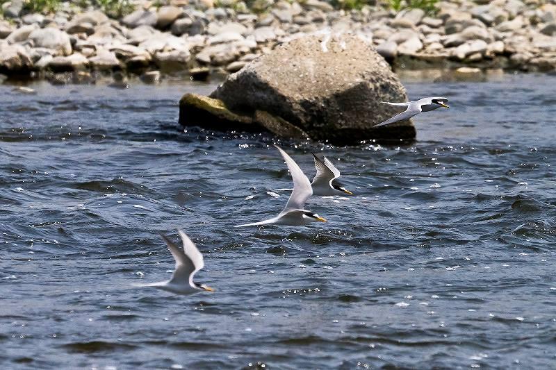 川面を飛ぶコアジサシ_f0044056_5554032.jpg