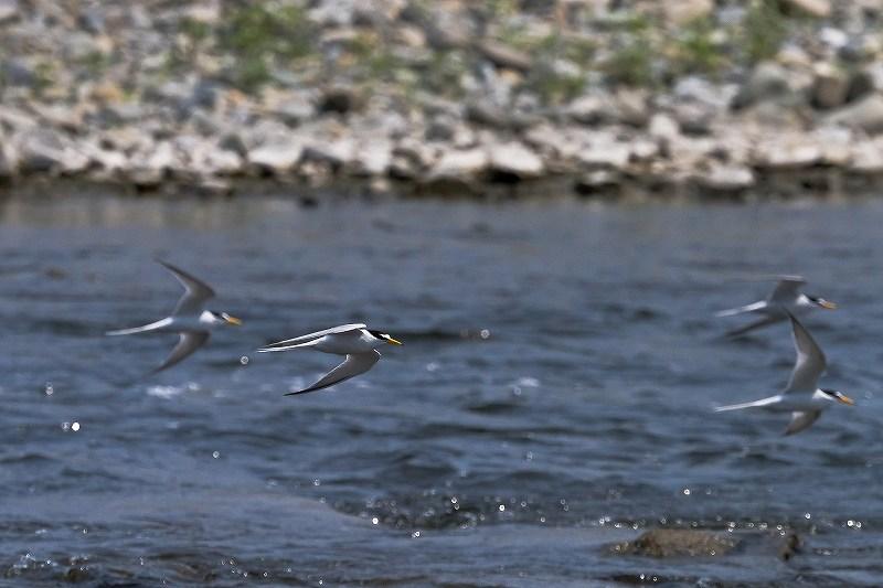 川面を飛ぶコアジサシ_f0044056_557092.jpg