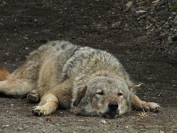 狼は寝ている時でも凛々しい。_d0138170_14515860.jpg