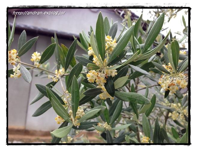 【ガーデニング】 オリーブの開花、、、、ですが。_c0176271_22271255.jpg