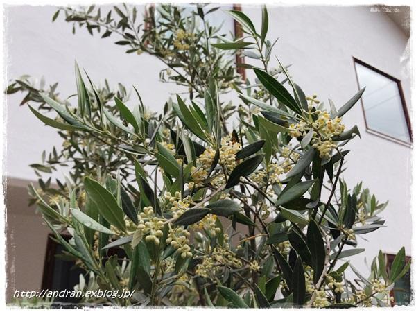 【ガーデニング】 オリーブの開花、、、、ですが。_c0176271_22274485.jpg