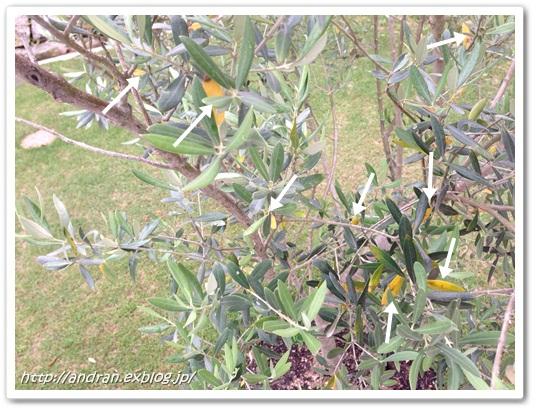 【ガーデニング】 オリーブの開花、、、、ですが。_c0176271_2227513.jpg