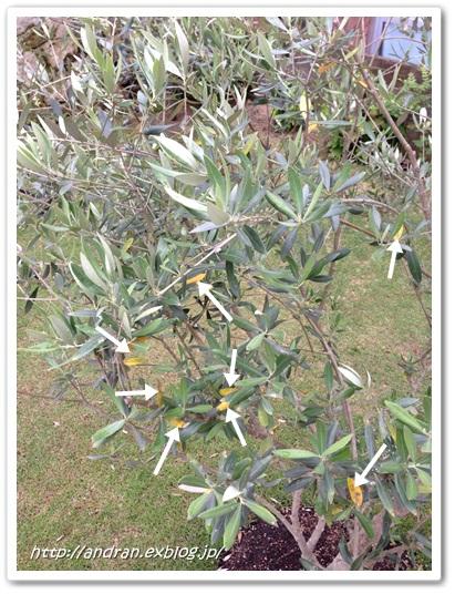 【ガーデニング】 オリーブの開花、、、、ですが。_c0176271_22282599.jpg