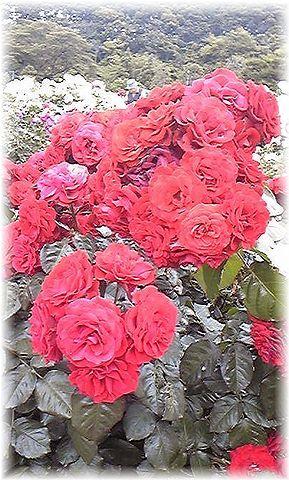 ★閑話休題★「Bloody Rose」ばらもえ_d0155379_23182823.jpg