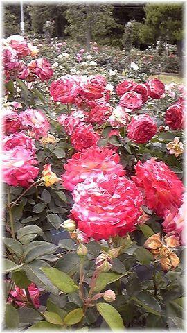 ★閑話休題★「Bloody Rose」ばらもえ_d0155379_2320263.jpg