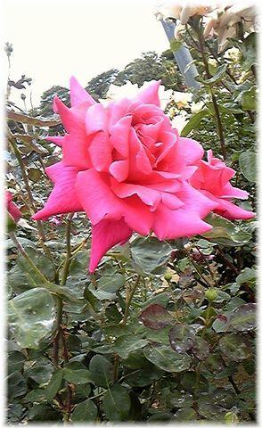 ★閑話休題★「Bloody Rose」ばらもえ_d0155379_23203378.jpg