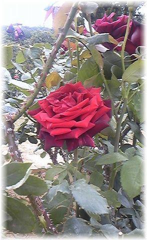 ★閑話休題★「Bloody Rose」ばらもえ_d0155379_2321264.jpg